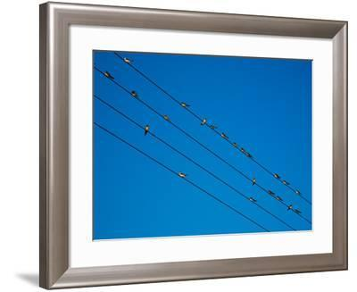 Swallows in Autumn Prior to Migration, Fethard, County Tipperary, Ireland--Framed Photographic Print