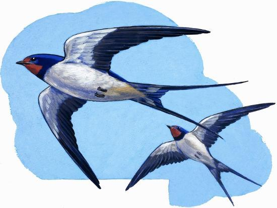 Swallows-R. B. Davis-Giclee Print