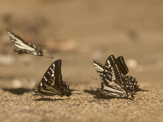 Swallowtail Butterflies Drinking Water on a Road in the Forest-Phil Schermeister-Photographic Print