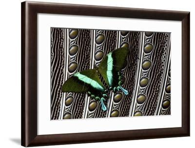 Swallowtail Butterfly on Feather Design-Darrell Gulin-Framed Photographic Print