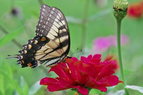 Swallowtail Butterfly Resting on Flower Bud-Gary Carter-Photographic Print