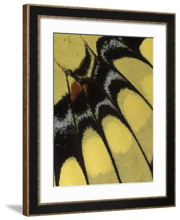 Swallowtail Butterfly Wing Detail, Michigan, USA-Claudia Adams-Framed Photographic Print