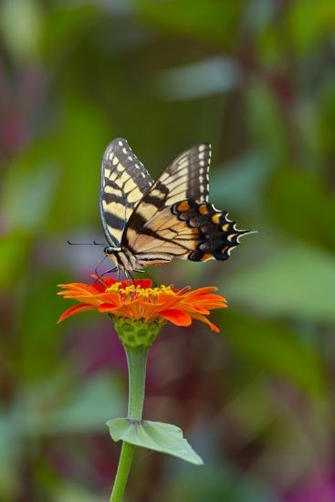 Swallowtail Butterfly-Gary Carter-Photographic Print