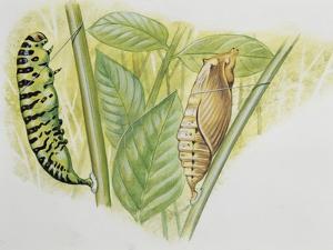 Swallowtail Caterpillar and Pupa (Papilio Machaon), Papilionidae