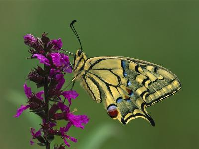 Swallowtail (Papilio Machaon) Butterfly, Switzerland-Thomas Marent/Minden Pictures-Photographic Print