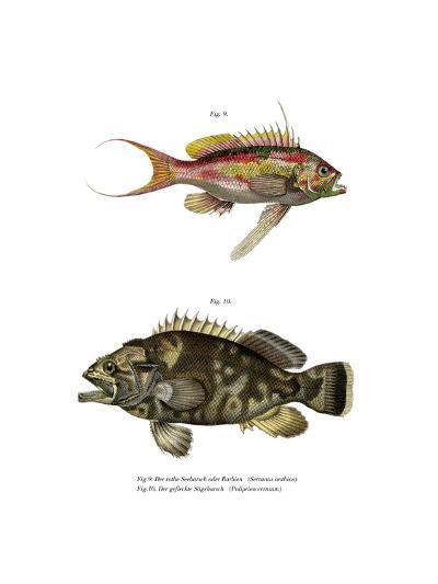Swallowtail Seaperch--Giclee Print