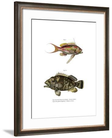 Swallowtail Seaperch--Framed Giclee Print