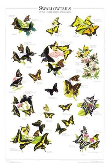 Swallowtails of US and Canada--Art Print