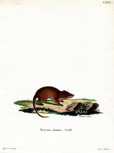 Swamp Antechinus--Giclee Print