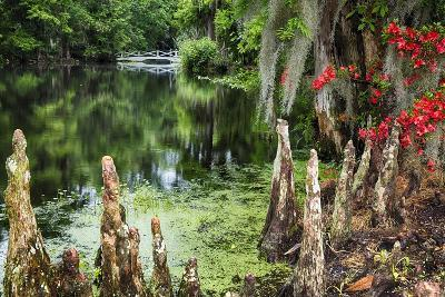 Swamp Cypress With Spanish Moss And Azalea-George Oze-Photographic Print