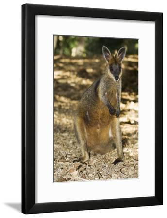 Swamp Wallaby-Tony Camacho-Framed Photographic Print