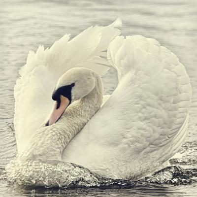 Swan Causing Bow Wave-BlackCatPhotos-Photographic Print