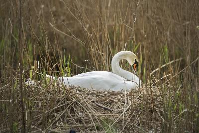 Swan (Cygnus), Gloucestershire, England, United Kingdom-Janette Hill-Photographic Print