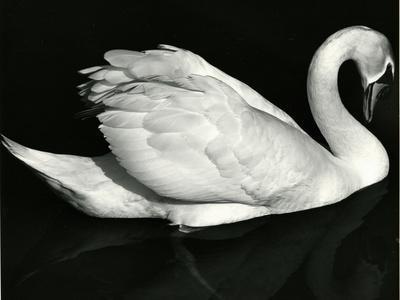 https://imgc.artprintimages.com/img/print/swan-europe-1971_u-l-q1g6vzd0.jpg?p=0