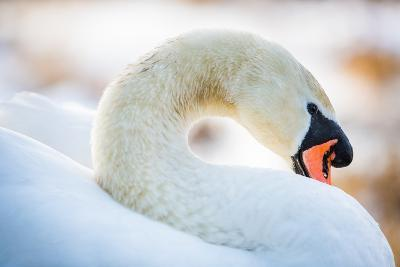 Swan in the Morning Light, United Kingdom, Europe-John Alexander-Photographic Print