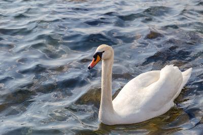 Swan in the Water-Massimiliano Ranauro-Photographic Print