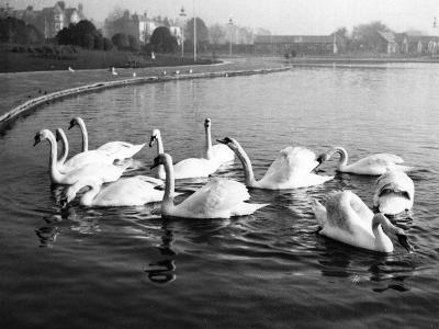 Swan Lake--Photographic Print
