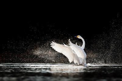Swan Rising from Water and Splashing Silvery Water Drops Around-Tero Hakala-Photographic Print