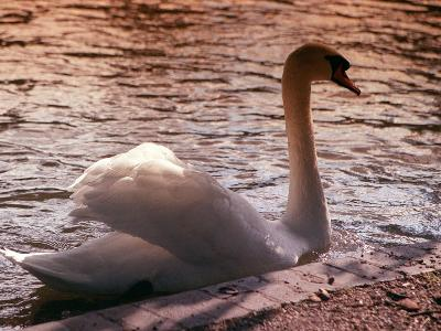 Swan Swimming at Sunset--Photographic Print