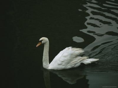 Swan Swims on a Pond Near the Imperial Palace-xPacifica-Photographic Print