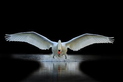 Swan with Open Wings, a Unique Moment, Spring Courtship- Drakuliren-Photographic Print