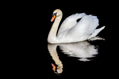 Swan with Reflection-Alan Tunnicliffe-Photographic Print
