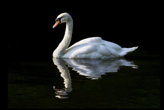 Swan-Charles Bowman-Photographic Print