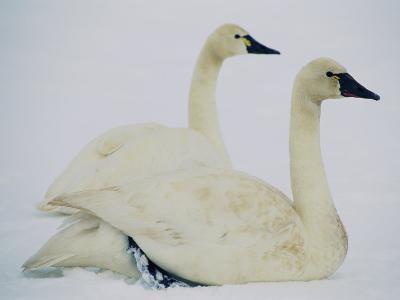 Swans Along the Highway-Joel Sartore-Photographic Print