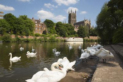 Swans Beside the River Severn and Worcester Cathedral, Worcester, Worcestershire, England-Stuart Black-Photographic Print