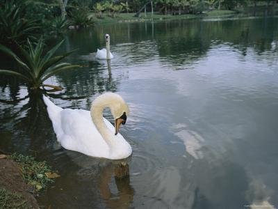 Swans Float in the Water-Roy Toft-Photographic Print