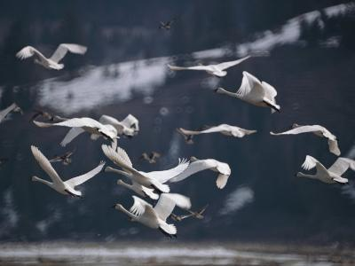 Swans Flying Low over Water-Dr^ Maurice G^ Hornocker-Photographic Print