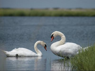 Swans in a Pond-James L^ Stanfield-Photographic Print