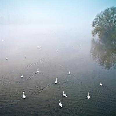 Swans in Log on River Neckar-Ulrich Mueller-Photographic Print