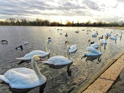 Swans on Lake at Sunset .-Honey Cloverz-Photographic Print