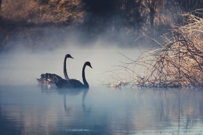 Swans on Misty Lake Tarawera, New Zealand-Elaine W Zhao-Photographic Print