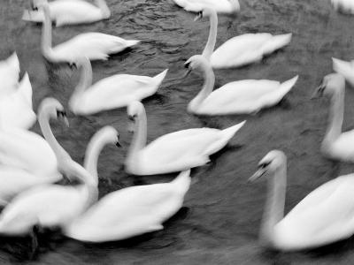 Swans on the Reuss River, Lucerne, Switzerland-Walter Bibikow-Photographic Print