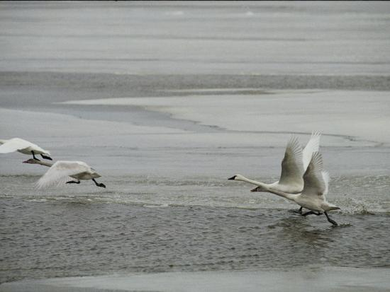 Swans Run Across the Waters Surface as They Prepare for Flight-Medford Taylor-Photographic Print