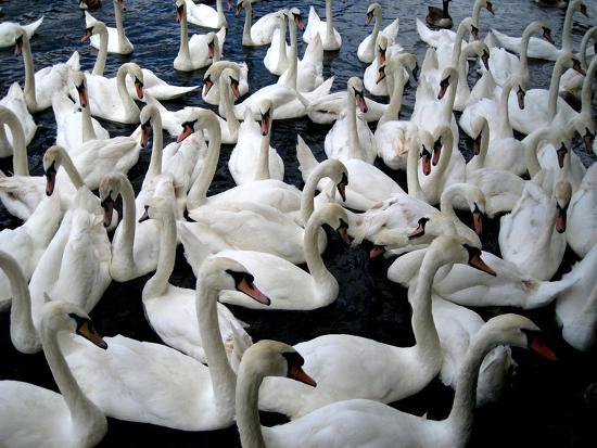 Swans, Windsor, England, 2009--Photographic Print