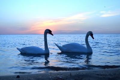 Swans-lindama-Photographic Print