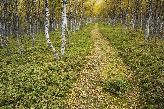 Sweden, Birch-Forest, Tree-Trunks, Forest Path-Rainer Mirau-Photographic Print
