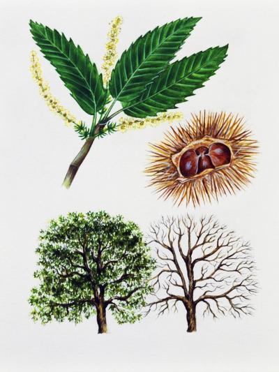 Sweet Chestnut (Castanea Sativa)--Giclee Print