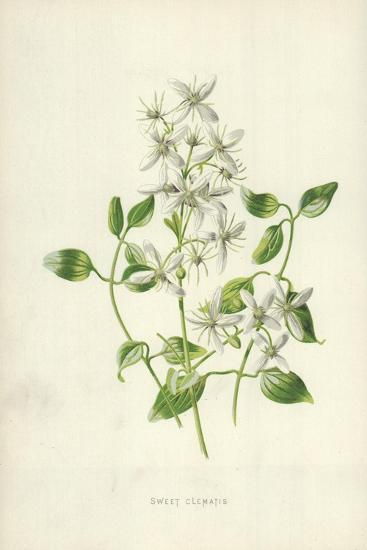 Sweet Clematis-Frederick Edward Hulme-Giclee Print