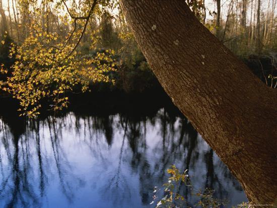 Sweet Gum Tree Leaning over the Dismal Swamp Canal-Raymond Gehman-Photographic Print