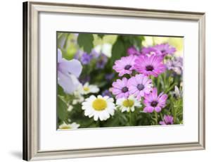 Cape Daisy, Margerite, Osteospermum, Leucanthemum by Sweet Ink