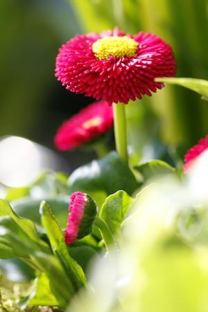 Daisies, Amarant, Daisies, Southern Daisy