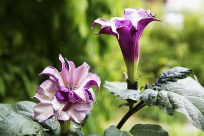 Datura, Flowers, Plant