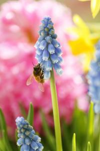 Grape Hyacinth with Bee by Sweet Ink