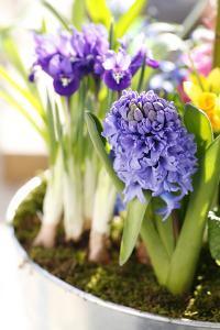 Hyacinth, Iris in Pot by Sweet Ink