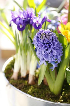 Hyacinth, Iris in Pot