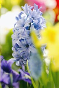 Hyacinth by Sweet Ink